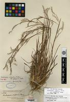 Isotype of Andropogon scoparius Michaux var. frequens F. T. Hubbard [family POACEAE]