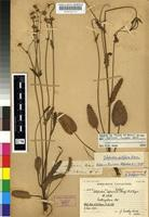Isotype of Alepidea capensis (P.J.Bergius) R.A.Dyer var. capensis [family APIACEAE]