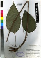 Isotype of Boehmeria macrophylla Hornem [family URTICACEAE]