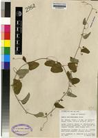 Isotype of Adenia dolichosiphon Harms [family PASSIFLORACEAE]