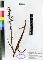Isotype of Habenaria schimperiana A. Rich [family ORCHIDACEAE]