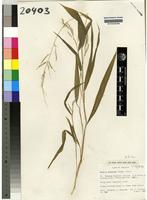Isotype of Setaria homonyma (Steud. ) Chiov. [family GRAMINEAE]