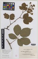 Isolectotype of Rubus mollissimus W.M.Rogers [family ROSACEAE]