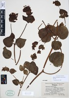Isotype of Mirabilis macfarlanei Constance & Rollins [family NYCTAGINACEAE]