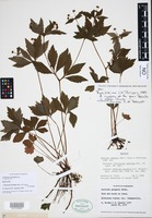 Neotype of Sanicula odorata (Raf.) Pryer & Phillippe [family APIACEAE]
