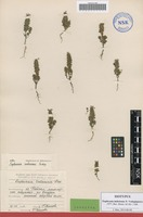 Isotype of Euphrasia imbricans Vodop. [family SCROPHULARIACEAE]