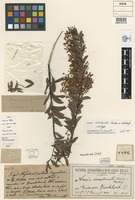Holotype of Acacia semilunata Maiden & Blakely [family FABACEAE]