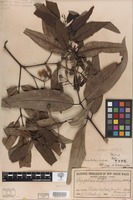 Holotype of Angophora dichromophloia Blakely [family MYRTACEAE]