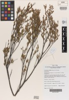Isotype of Leucopogon validus Hislop & A.R.Chapm. [family ERICACEAE]