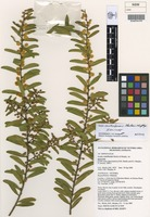 Isotype of Acacia rostriformis Maslin & Murphy [family FABACEAE]