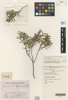 Isolectotype of Acacia resinistipulea W.Fitzg. [family FABACEAE]