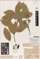 Lectotype of Cryptocarya foetida R.T.Baker [family LAURACEAE]
