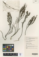 Isolectotype of Acacia vernicosa W.Fitzg. [family FABACEAE]