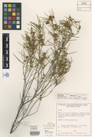 Isotype of Acacia resinosa R.S.Cowan & Maslin [family FABACEAE]