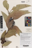 Isotype of Eucalyptus annettae D.Nicolle & M.E.French [family MYRTACEAE]