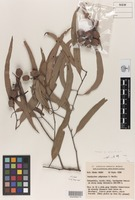 Holotype of Corymbia maritima K.D.Hill & L.A.S.Johnson [family MYRTACEAE]