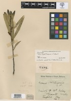 Isotype of Acacia subtilinervis F.Muell. [family FABACEAE]