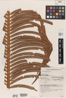Holotype of Cycas silvestris K.D.Hill [family CYCADACEAE]