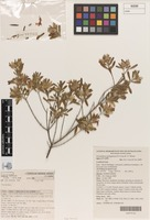 Holotype of Prostanthera mulliganensis B.J.Conn & T.C.Wilson [family LAMIACEAE]