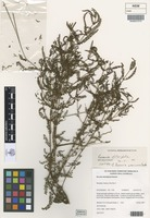 Isotype of Boronia gravicocca Duretto [family RUTACEAE]