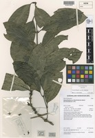 Isotype of Gynochthodes sessilis Halford [family RUBIACEAE]