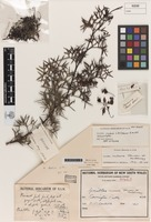 Holotype of Grevillea rivularis L.A.S.Johnson [family PROTEACEAE]