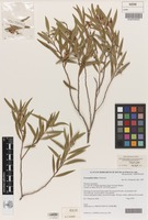 Isotype of Eremophila fallax Chinnock [family SCROPHULARIACEAE]