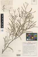 Isotype of Acacia distans Maslin [family FABACEAE]