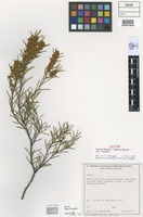 Isotype of Acacia dissona R.S.Cowan & Maslin [family FABACEAE]