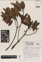Isotype of Acronychia eungellensis T.G.Hartley & B.Hyland [family RUTACEAE]