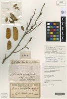 Lectotype of Acacia craspedocarpa F.Muell. [family FABACEAE]