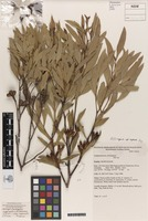 Holotype of Eucalyptus suggrandis L.A.S.Johnson & K.D.Hill [family MYRTACEAE]