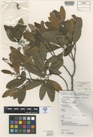 Isotype of Beilschmiedia collina B.Hyland [family LAURACEAE]