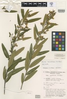Isotype of Hovea corrickiae J.H.Ross [family FABACEAE]
