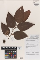 Isotype of Commersonia macrostipulata Guymer [family MALVACEAE]