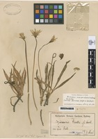 Isotype of Microseris latifolia Gand. [family ASTERACEAE]