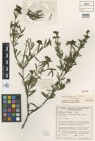 Isotype of Logania perryana B.J.Conn [family LOGANIACEAE]