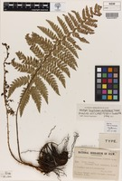 Holotype of Polystichum australiense Tindale [family DRYOPTERIDACEAE]