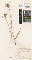 Isotype of Caladenia crebra A.S.George [family ORCHIDACEAE]
