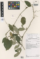 Isotype of Solanum serpens A.R.Bean [family SOLANACEAE]