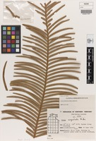 Holotype of Cycas arnhemica K.D.Hill [family CYCADACEAE]