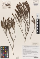 Isotype of Diocirea acutifolia Chinnock [family SCROPHULARIACEAE]