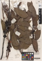 Holotype of Eucalyptus boliviana J.B.Williams & K.D.Hill [family MYRTACEAE]