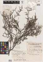 Holotype of Grevillea manglesioides subsp. papillosa McGill. [family PROTEACEAE]