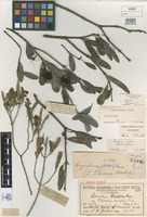 Lectotype of Loranthus lucasii Blakely [family LORANTHACEAE]