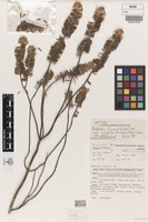 Isotype of Bedfordia linearis var. curvifolia Orchard [family ASTERACEAE]