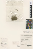 Holotype of Juncus curtisiae L.A.S.Johnson [family JUNCACEAE]