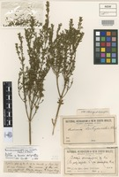 Syntype of Boronia dentigeroides Cheel [family RUTACEAE]