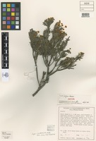 Isotype of Acacia profusa Maslin [family FABACEAE]