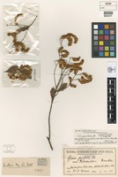 Holotype of Acacia pyrifolia [family FABACEAE]